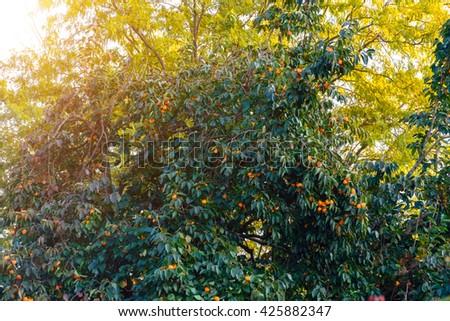 Ripe persimmon fruit on the tree. - stock photo