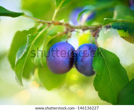 Ripe Plums on branch. Growing Plum in orchard. Organic fruits - stock photo