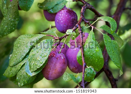 Ripe plums on the branch with dew droplets - stock photo