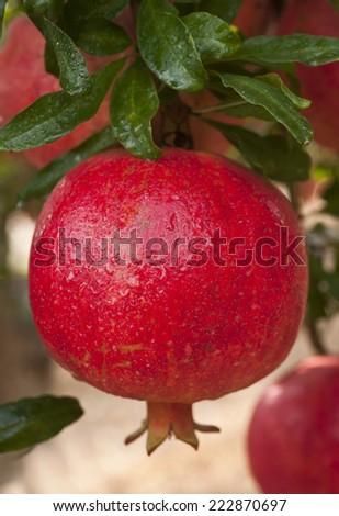 Ripe pomegranate fruit on  tree branch. - stock photo