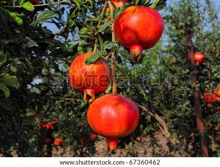 Ripe pomegranates on the tree - stock photo