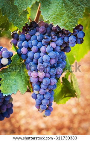 Ripe purple grapes with green leaves on the vine - stock photo