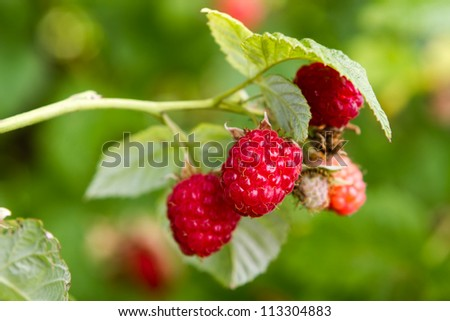 Ripe raspberry in the garden - stock photo