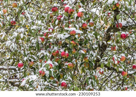 Ripe red apples on branches covered with fallen snow - stock photo