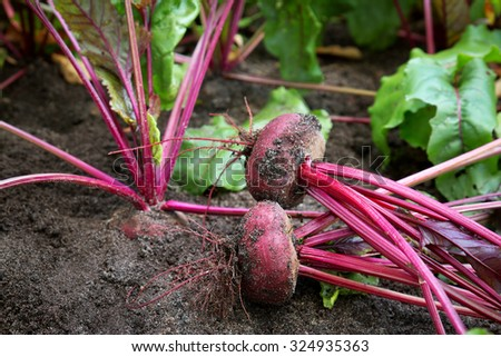 Ripe red beetroot laying on the ground - stock photo
