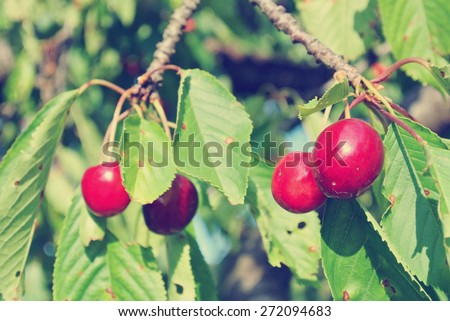 Ripe red cherries on the tree in an orchard on a sunny summer day. Image filtered in faded, washed-out, retro style; rural vintage concept. - stock photo