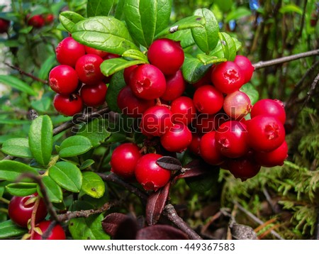 Ripe red cowberry grows in pine forest. - stock photo