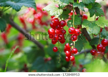 Ripe Red currants in the garden, selective focus - some berries in focus, some are not - stock photo