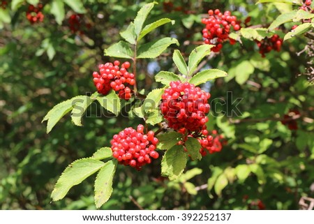 Ripe red elderberry (Sambucus racemosa) berries in the summer forest - stock photo