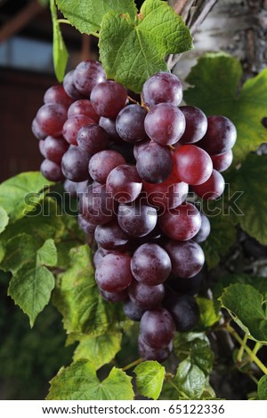 ripe red grape in vineyard. - stock photo