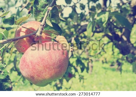 Ripe red juicy apples on the tree in an orchard, on a sunny summer day. Image filtered in faded, washed-out, retro style; rural vintage concept. - stock photo