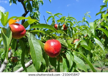 Ripe red nectarines hanging from a tree - stock photo