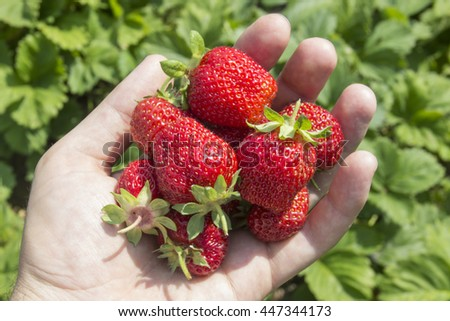 Ripe red strawberries on hand , against the background of strawberry plant - stock photo