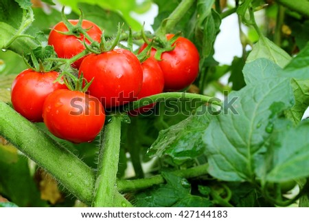 Ripe red tomatoes on green bush selective focus - stock photo