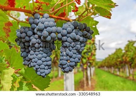 ripe red vine grapes in vineyard before harvest - stock photo