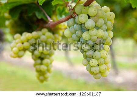 Ripe Riesling white vine grapes in fall in Germany - stock photo