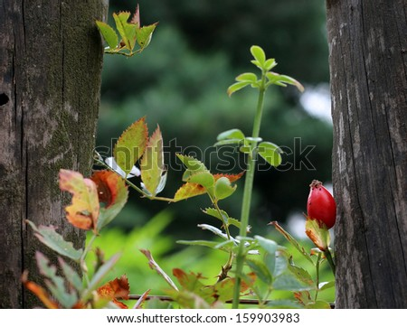 Ripe rose hip growing next to wooden fence - stock photo