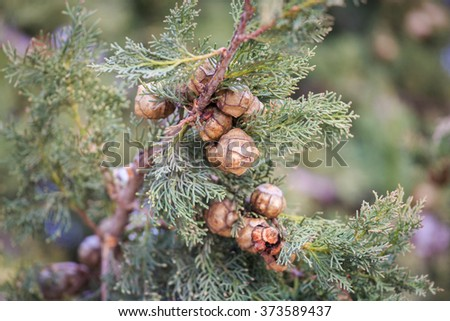 Ripe round cypress cones on his tree on blurred background - stock photo