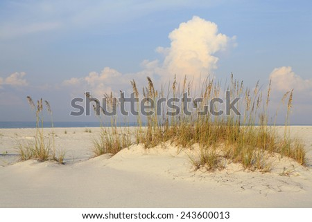 Ripe Sea Oates on a White Sand Florida Beach - stock photo