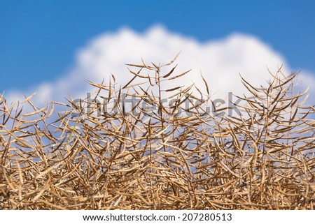 Ripe seeds of rape at a field on a summer day/Rapeseed Maturity - stock photo