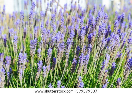 Ripe small blue lavender flowers - stock photo