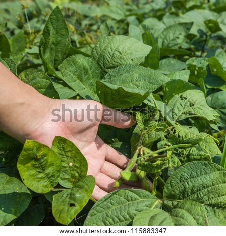 ripe soybean in the farm land - stock photo