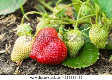 ripe strawberries in a garden - stock photo