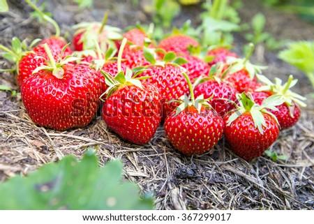 ripe strawberries on the ground, closeup - stock photo