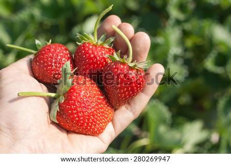 Ripe strawberry in hand with natural background. - stock photo