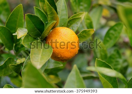 ripe tangerine on a branch close up - stock photo