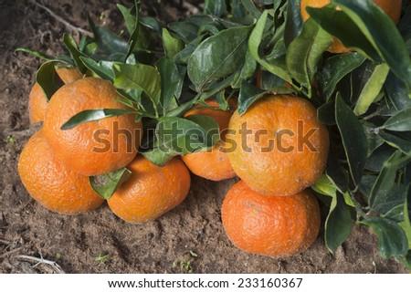 Ripe tangerines on a tree branch - stock photo