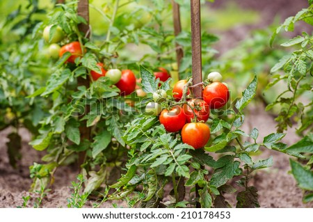 Ripe tomatoes growing on the branches - cultivated in the garden - stock photo