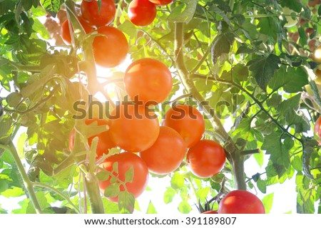 Ripe tomatoes natural - stock photo