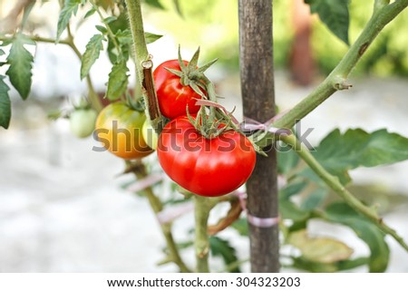 ripe tomatoes on a branch - stock photo