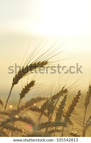 Ripe wheat - stock photo