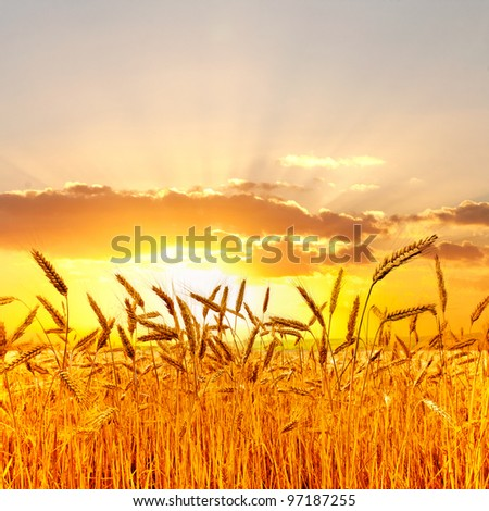 Ripe wheat at sunset. - stock photo