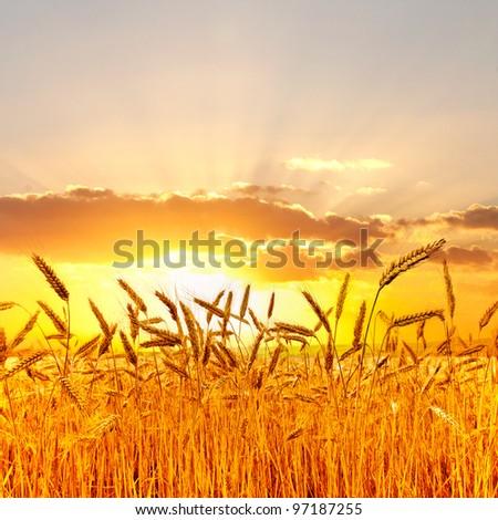 Ripe wheat at sunset. - stock photo