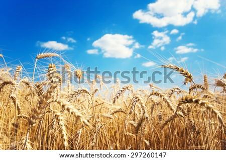 Ripe wheat close up shot on a sunny day - stock photo