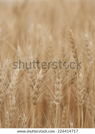 Ripe wheat close-up with selective focus in foreground - stock photo