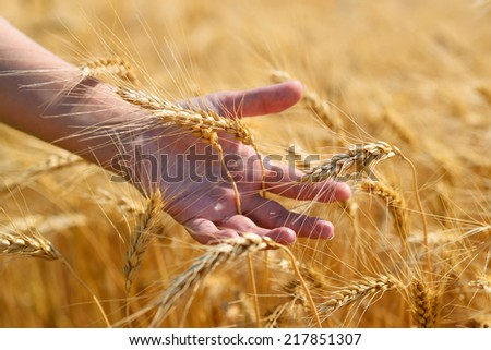 Ripe wheat ears in hand - stock photo