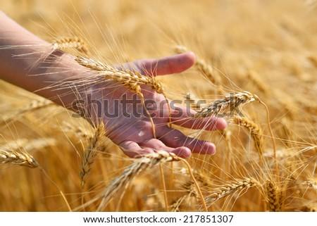 Ripe wheat ears in hand - stock photo