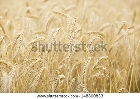 Ripe wheat ears on the field  - stock photo