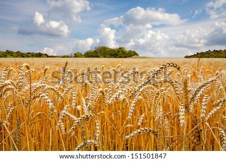 Ripe wheat field. Summer landscape. - stock photo