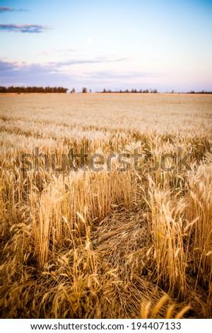 Ripe wheat in the field - stock photo