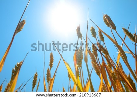 Ripe wheat under blue sky and sun, bottom view - stock photo