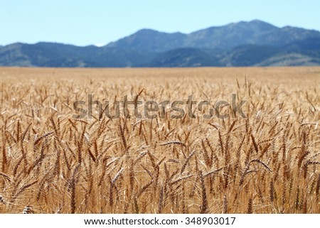 Ripe wheat waiting for harvest in the fertile farm fields of Idaho. - stock photo