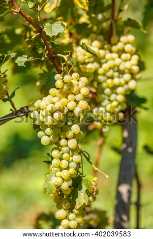 Ripe white Muscat grape cluster on branch - stock photo