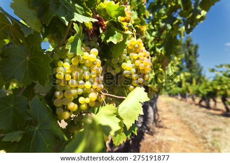 Ripe white wine grapes on a sunny day  - stock photo