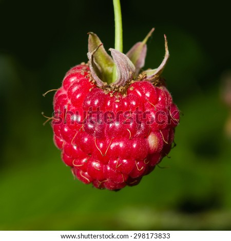 Ripe wild raspberry on a branch macro, selective focus, shallow DOF - stock photo