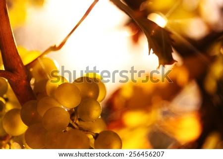 Ripe wine grapes in sunlight - horizontal - stock photo